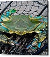Crabby About This Acrylic Print