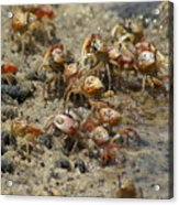 Crabs R Us Acrylic Print