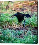 Grackle In The Morning  Acrylic Print