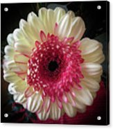 Cranberry And White Acrylic Print