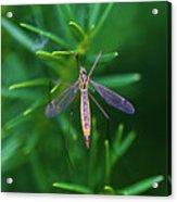 Crane Fly Acrylic Print