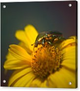 Crawling June Beetle Acrylic Print