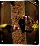 Crazy Goldfinch Acrylic Print