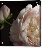 Cream And Pink Acrylic Print