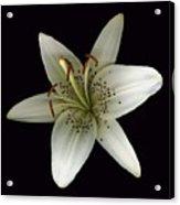 Cream Lily Acrylic Print