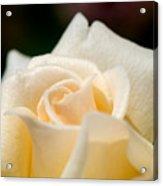 Cream Rose Kisses Acrylic Print by Lisa Knechtel