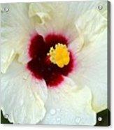 Creamy Hibiscus With Rain Drops Acrylic Print