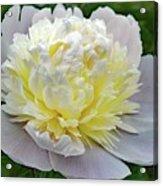 Creamy Petals - Double Peony Acrylic Print
