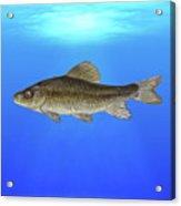 Creek Chubsucker Blue Lagoon  Acrylic Print