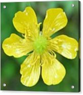 Creeping Buttercup Acrylic Print
