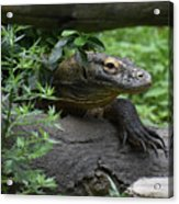 Creeping Komodo Monitor Climbing Under A Fallen Log Acrylic Print