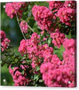 Crepe Myrtle Blossoms 2 Acrylic Print