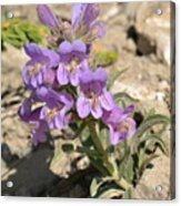 Crested Beardtongue Acrylic Print