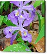 Crested Dwarf Iris Acrylic Print