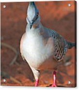 Crested Pigeon Acrylic Print