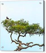 Crested Snake Eagle Acrylic Print