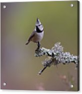 Crested Tit In Woodland Acrylic Print