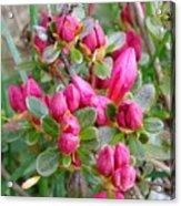 Crimson Azalea Buds Acrylic Print