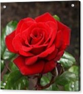 Crimson Bouquet  Acrylic Print