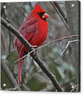 Crimson Cardinal Acrylic Print