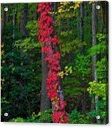 Crimson Creeper Acrylic Print