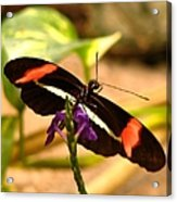 Crimson Patched Longwing 2 Acrylic Print