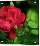 Crimson Red Rose By Kaye Menner Acrylic Print
