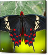 Crimson Rose Butterfly Acrylic Print