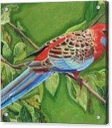 Crimson Rosella Acrylic Print