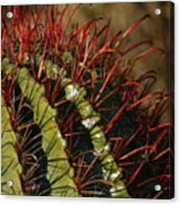 Crimson Thorns 2 Acrylic Print