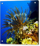 Crinoid At Pakin Atoll2 Acrylic Print