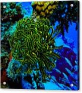 Crinoid On Wrecked Plane In Kwajalein Acrylic Print