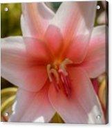 Crinum Lilies Acrylic Print