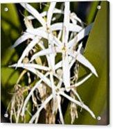 Crinum Spiderlily Flower Acrylic Print