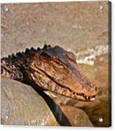 Croc Acrylic Print