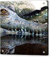Crocodile X2 Acrylic Print