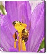 Crocus And The Bee Acrylic Print