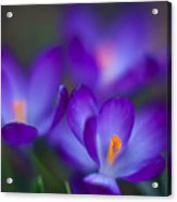 Crocus Blooms Acrylic Print