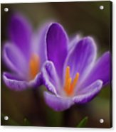 Crocus Glory Acrylic Print