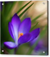 Crocus Light Acrylic Print