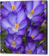 Crocuses Acrylic Print by Tom McCarthy