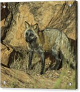 Cross Fox On Red Rocks Acrylic Print