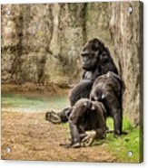 Cross River Pregnant Gorilla And Children Acrylic Print