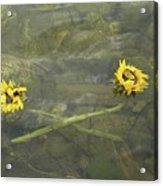 Crossed Sunflower  Acrylic Print