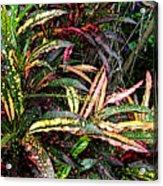 Croton 1 Acrylic Print by Eikoni Images