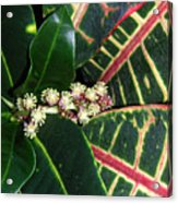 Croton Blooming Acrylic Print