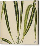 Croton Variegatum Angustifolium Acrylic Print