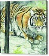 Crouching Tiger Acrylic Print