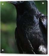 Crow-6870 Acrylic Print