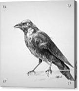 Crow Drawing Acrylic Print